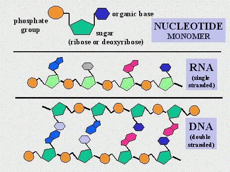 Многомерные звенья нуклеотидов, или карма в действии